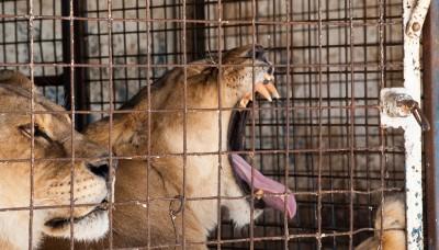 Se inicia campaña en Perú para rescatar animales del circo