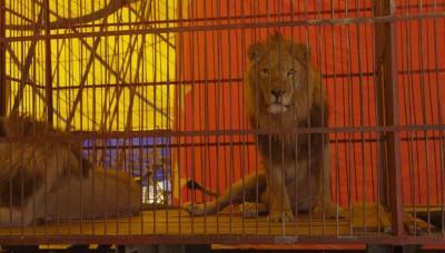 Rescatan tres leones en cautiverio de circos en Cusco