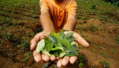 Cultivo de hoja de coca disminuye en Latinoamérica, según organismo de la ONU