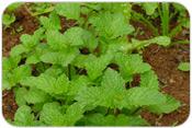 Curso Cultivo Org�nico de Plantas Medicinais