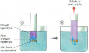 Esquema de um experimento demonstrado a osmose.As setas azuis indicam o fluxo de água. (A. Um tubo com uma membrana semipermeável é preenchido com uma solução hipertônica e mergulhado em água pura. B. A água entra por osmose, elevando o líquido no tubo).