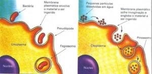Fagocitose (esquerda) e pinocitose (direita). Obs: é por pinocitose que as células intestinais capturam gotículas de gordura do tubo digestório.