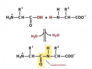 Exemplo de ligação peptídica