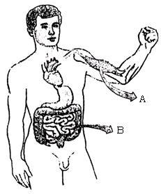 tecidos-musculares-3