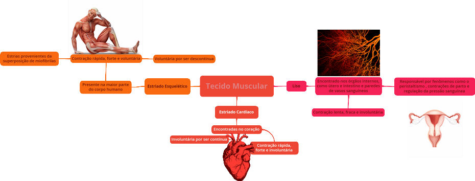 Mapa Mental: Tecido Muscular