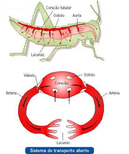 Sistema circulatório aberto (gafanhoto)