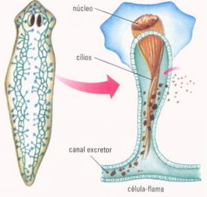 Detalhe da célula-flama