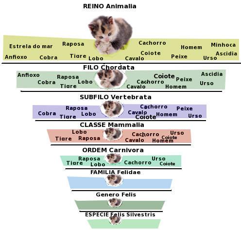 taxonomia-gato-domestico