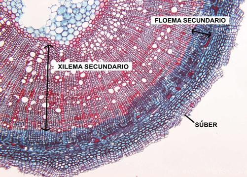 Corte transversal mostrando a posição do xilema e do floema no caule.