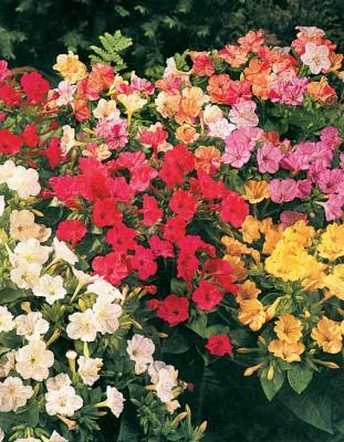 """'Mirabilis jalapa', a """"flor-maravilha""""."""