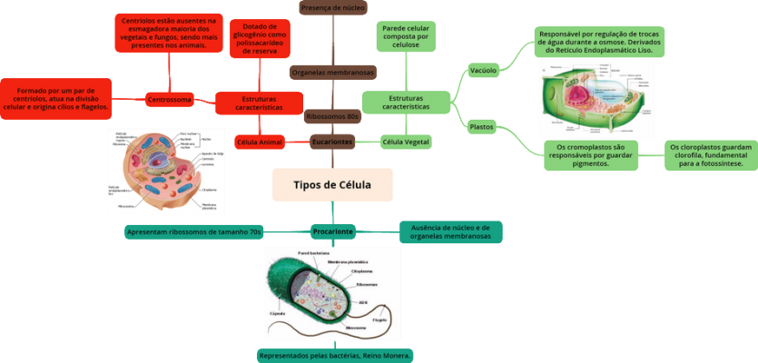 Mapa Mental: Tipos de Célula