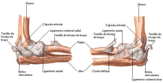 anatomia cotovelo