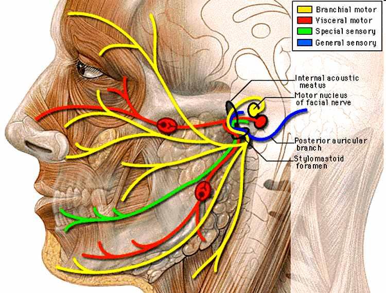 anatomia sistema nervoso trigemeo