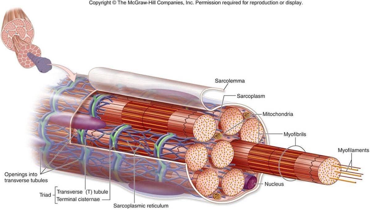 Contraturas musculares, uma das principais causas de lombalgias.