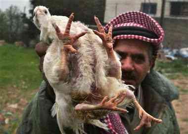 capt.jrl12103141747.mideast israel palestinians chicken jrl121 Depois do pintinho, a Galinha quadrúpede