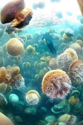 jellyfish invasion Monstro marinho