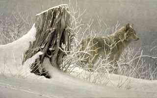 WinterTrackersCoyote Robert Bateman   O fotógrafo de mão cheia