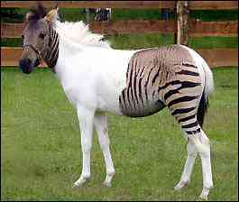 zorse Zorse   filhote de cavalo com zebra