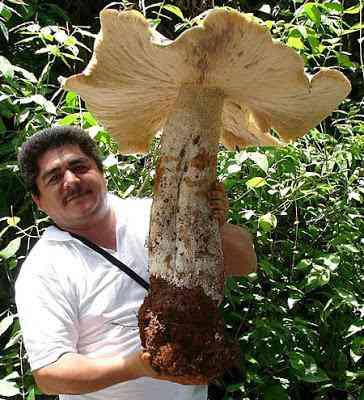 giant mushroom Cogumelo gigante encontrado