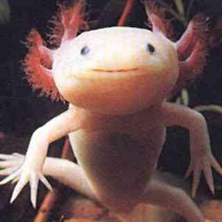 axolotl Os animais mais estranhos e esquisitos do mundo