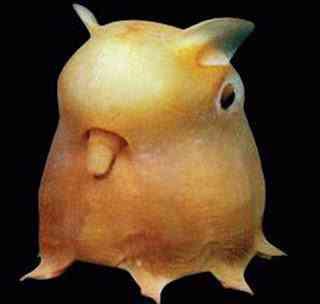 dumbo octopus Os animais mais estranhos e esquisitos do mundo