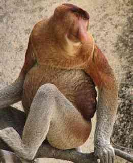 proboscis monkey Os animais mais estranhos e esquisitos do mundo