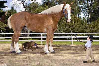 tallestsmallesthorse O maior cavalo do mundo   e o menor