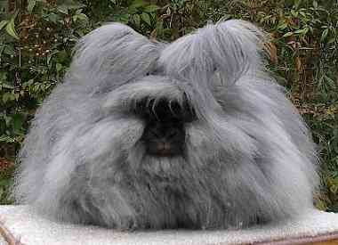 Angora rabbit Os incríveis Bichinhos do Mundo Gump