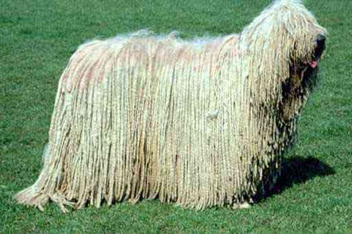 Komondor Dog Os incríveis Bichinhos do Mundo Gump