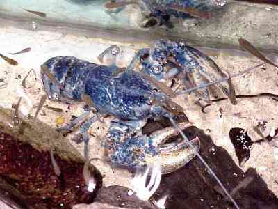 bluelobster Os incríveis Bichinhos do Mundo Gump