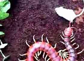 centipede mouse Os incríveis Bichinhos do Mundo Gump