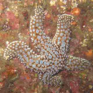 Giant spiny star Animais bizarros das altas profundidades II