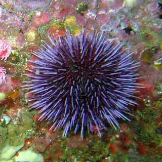 Purple sea urchin Animais bizarros das altas profundidades II