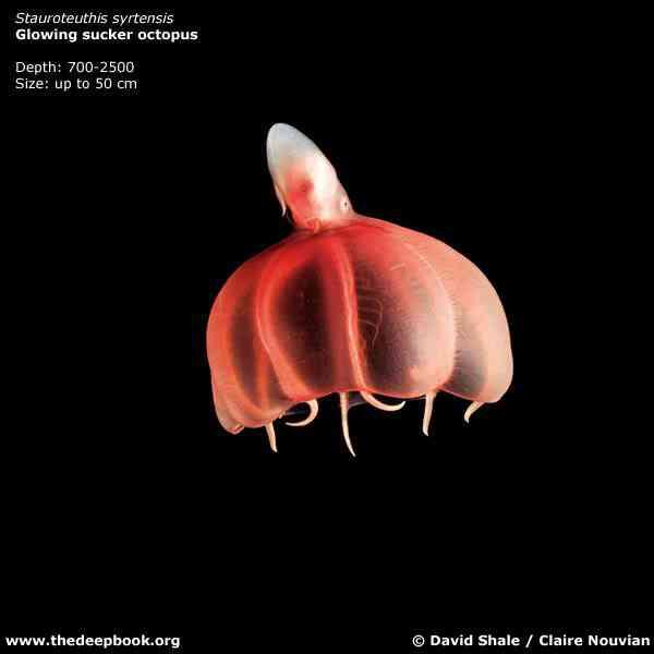 ShaleCN 5772 72 Animais bizarros das altas profundidades II