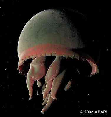 bigred Animais bizarros das altas profundidades II