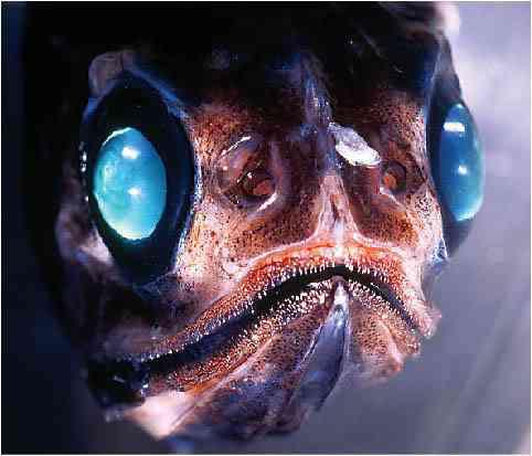 closedoestranhoanimal Animais bizarros das altas profundidades II