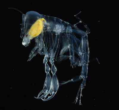 deepsea41 Animais bizarros das altas profundidades II