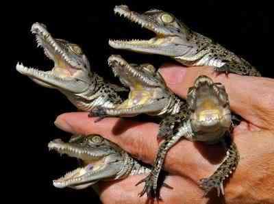 alligators knuttz1net 10 bichos que eu não colocaria na mão    parte II