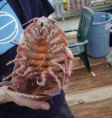 giantisopod knuttz1net 10 bichos que eu não colocaria na mão    parte II