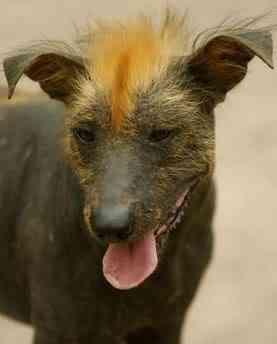 peruvianhairless yahoo1com Cães do capeta