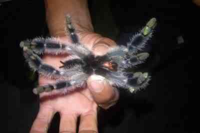 tarantula2 Steve 10 bichos que eu não colocaria na mão    parte II