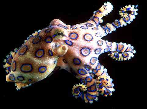 blueringedoctppus Algumas das criaturas mais venenosas da Terra