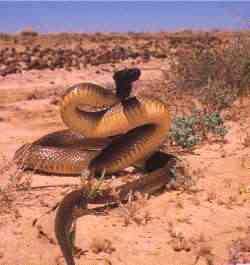 fierce snake Algumas das criaturas mais venenosas da Terra