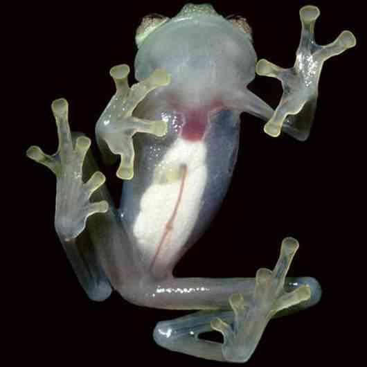 glassfrog Momento Animal Planet: A rã transparente
