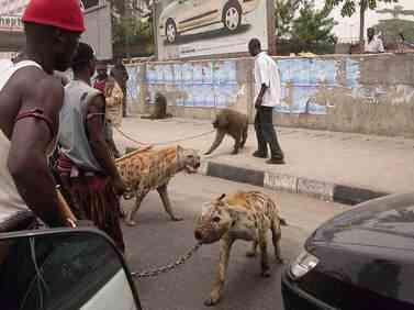 hiena2 Hienas   Animais perigosos