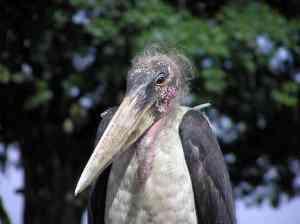 Maribu Stork Web 300x224 Os animais mais bizarros do mundo Parte 2
