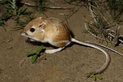 dipodomys502 Os animais mais bizarros do mundo Parte 2