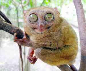 f p21tarsier 300x249 Os animais mais bizarros do mundo Parte 2