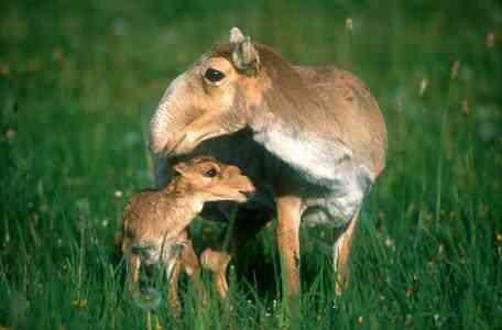 family of saiga antelopes 2681 Os animais mais bizarros do mundo Parte 2