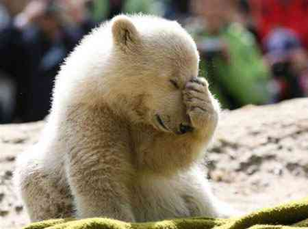 knut berlin polar bear Viking Warrior Parte 3   Fabricando o monstro
